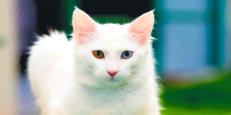 گربه وان، یکی از جاذبههای شگفتانگیز شهر وان ترکیه